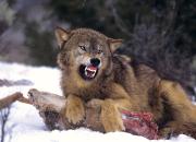 Der (böse?) Wolf, der Schafe reisst. Wieso und wo macht er das?